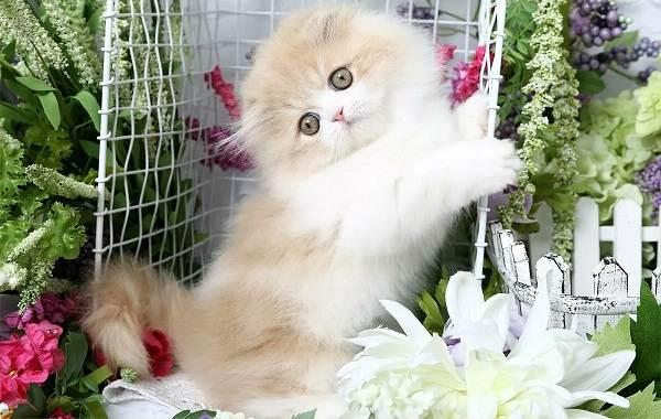 Кошка-породы-Наполеон-её-особенности-характер-уход-и-цена-6