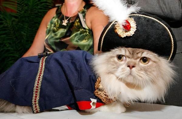 Кошка-породы-Наполеон-её-особенности-характер-уход-и-цена-7