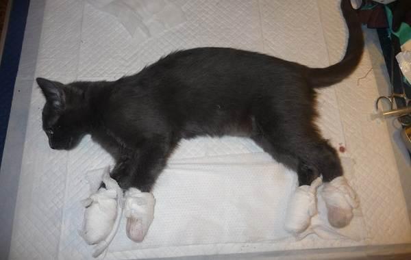 Операция-по-удалению-когтей-у-кошки-все-за-и-против-3