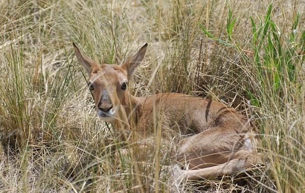 Дзерен-животное-Описание-особенности-виды-образ-жизни-и-среда-обитания-антилопы-10