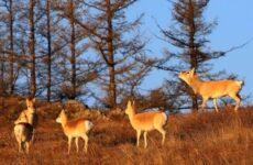 Дзерен животное. Описание, особенности, виды, образ жизни и среда обитания антилопы