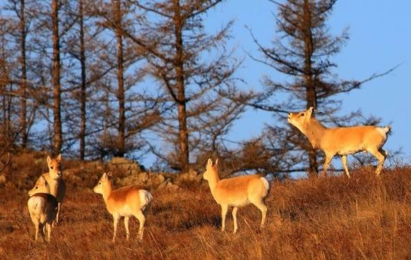 Дзерен-животное-Описание-особенности-виды-образ-жизни-и-среда-обитания-антилопы-11