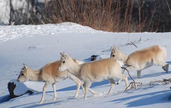 Дзерен-животное-Описание-особенности-виды-образ-жизни-и-среда-обитания-антилопы-12