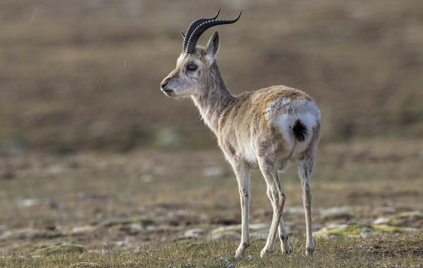 Дзерен-животное-Описание-особенности-виды-образ-жизни-и-среда-обитания-антилопы-13
