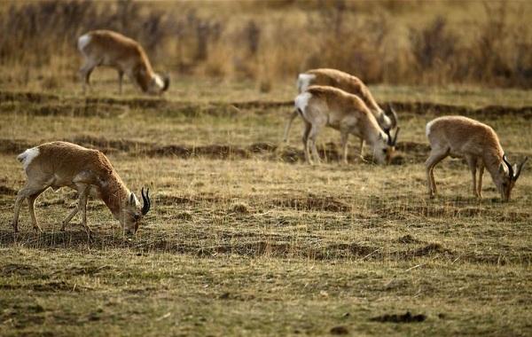 Дзерен-животное-Описание-особенности-виды-образ-жизни-и-среда-обитания-антилопы-14