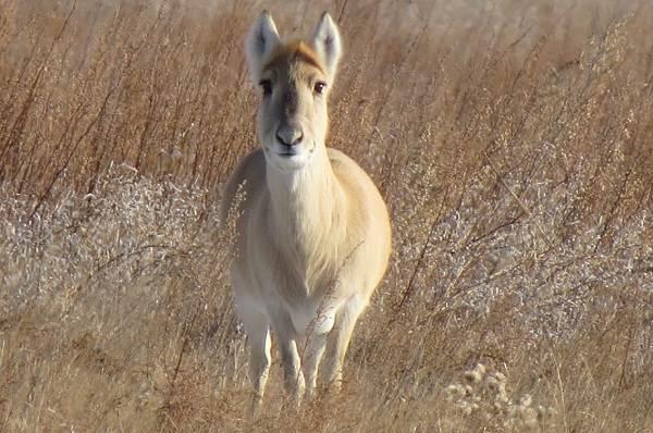 Дзерен-животное-Описание-особенности-виды-образ-жизни-и-среда-обитания-антилопы-2