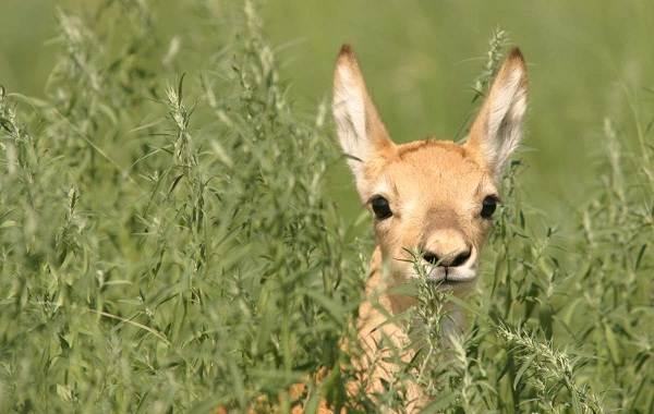 Дзерен-животное-Описание-особенности-виды-образ-жизни-и-среда-обитания-антилопы-3