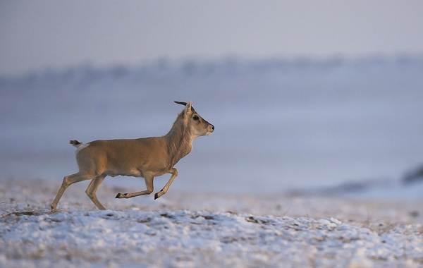 Дзерен-животное-Описание-особенности-виды-образ-жизни-и-среда-обитания-антилопы-5
