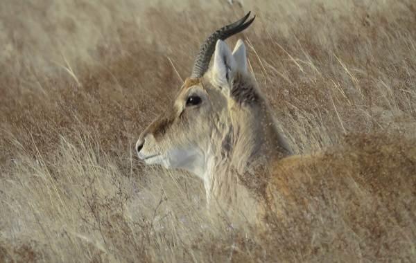 Дзерен-животное-Описание-особенности-виды-образ-жизни-и-среда-обитания-антилопы-6