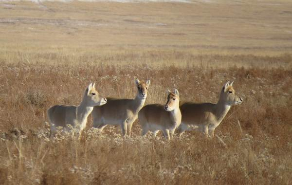 Дзерен-животное-Описание-особенности-виды-образ-жизни-и-среда-обитания-антилопы-7