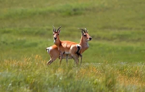 Дзерен-животное-Описание-особенности-виды-образ-жизни-и-среда-обитания-антилопы-8