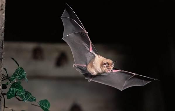 Подковонос-летучая-мышь-Описание-особенности-виды-и-среда-обитания-1