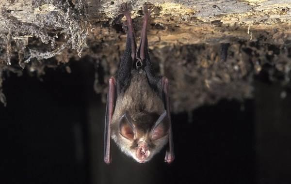 Подковонос-летучая-мышь-Описание-особенности-виды-и-среда-обитания-10