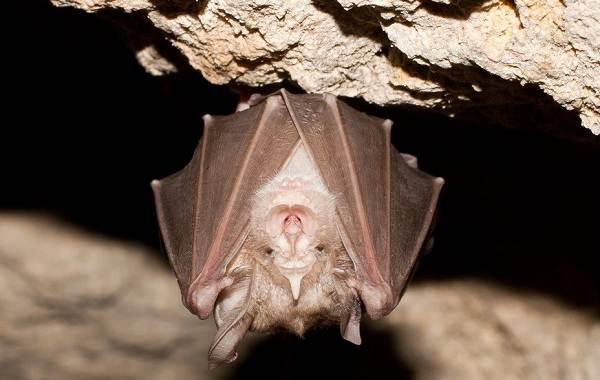 Подковонос-летучая-мышь-Описание-особенности-виды-и-среда-обитания-11