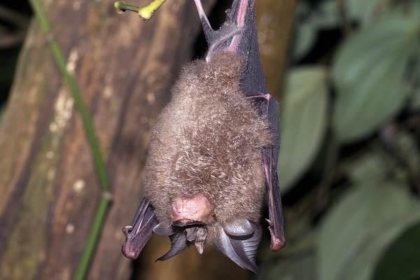 Подковонос-летучая-мышь-Описание-особенности-виды-и-среда-обитания-12