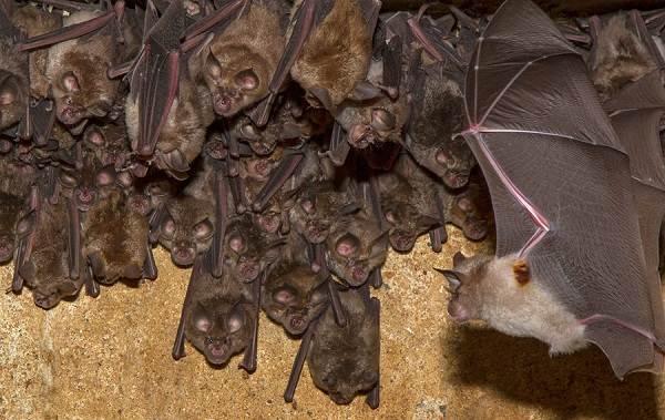 Подковонос-летучая-мышь-Описание-особенности-виды-и-среда-обитания-13