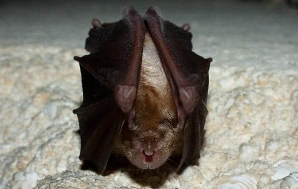 Подковонос-летучая-мышь-Описание-особенности-виды-и-среда-обитания-15