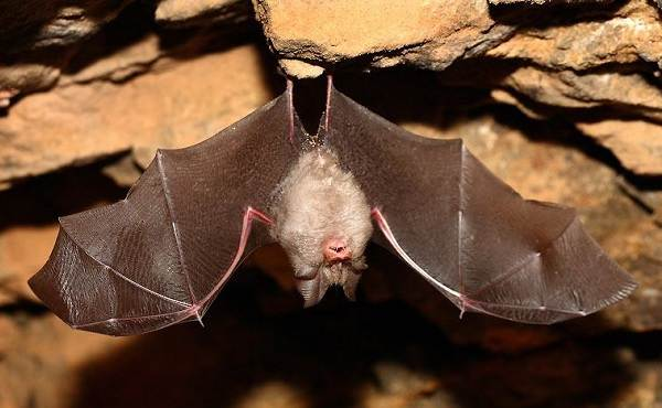 Подковонос-летучая-мышь-Описание-особенности-виды-и-среда-обитания-16