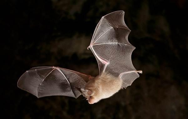 Подковонос-летучая-мышь-Описание-особенности-виды-и-среда-обитания-17