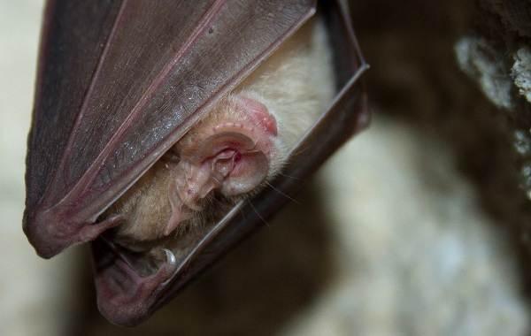 Подковонос-летучая-мышь-Описание-особенности-виды-и-среда-обитания-18