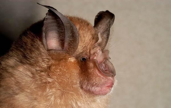 Подковонос-летучая-мышь-Описание-особенности-виды-и-среда-обитания-2