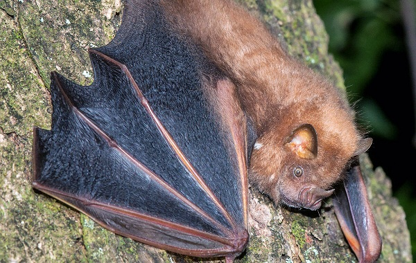 Подковонос-летучая-мышь-Описание-особенности-виды-и-среда-обитания-20
