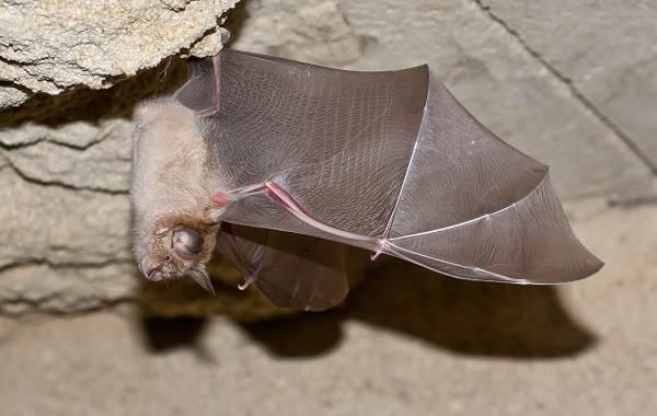 Подковонос-летучая-мышь-Описание-особенности-виды-и-среда-обитания-3