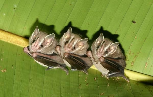 Подковонос-летучая-мышь-Описание-особенности-виды-и-среда-обитания-4