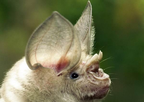Подковонос-летучая-мышь-Описание-особенности-виды-и-среда-обитания-7