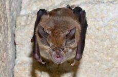 Подковонос летучая мышь. Описание, особенности, виды и среда обитания