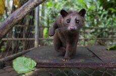 Мусанг животное, его особенности, виды, образ жизни и среда обитания