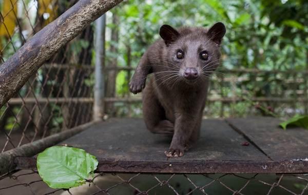 Мусанг-животное-его-особенности-виды-образ-жизни-и-среда-обитания-1