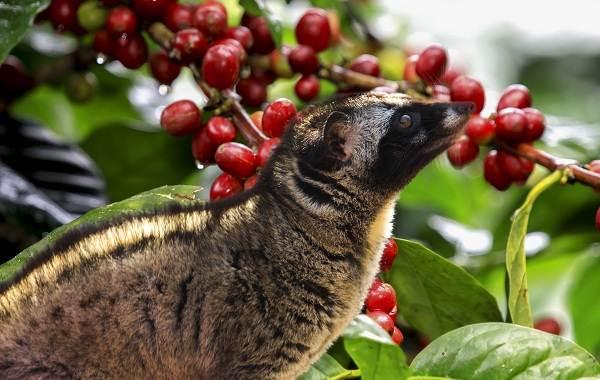 Мусанг-животное-его-особенности-виды-образ-жизни-и-среда-обитания-2