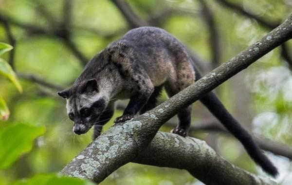 Мусанг-животное-его-особенности-виды-образ-жизни-и-среда-обитания-3