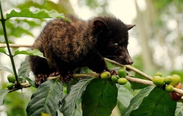 Мусанг-животное-его-особенности-виды-образ-жизни-и-среда-обитания-4
