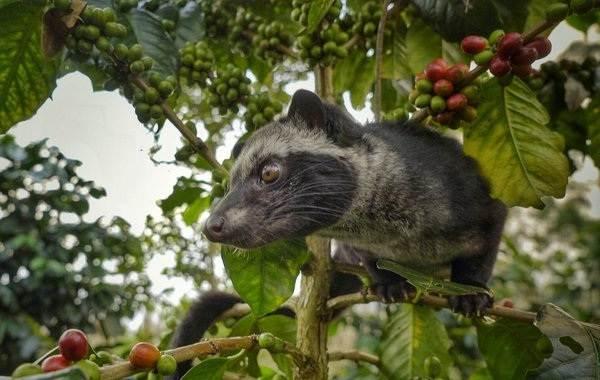 Мусанг-животное-его-особенности-виды-образ-жизни-и-среда-обитания-5