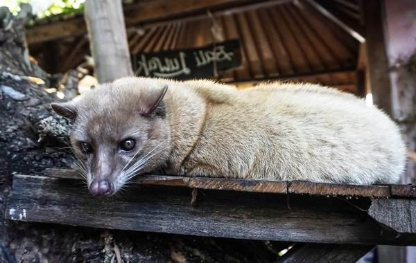 Мусанг-животное-его-особенности-виды-образ-жизни-и-среда-обитания-6