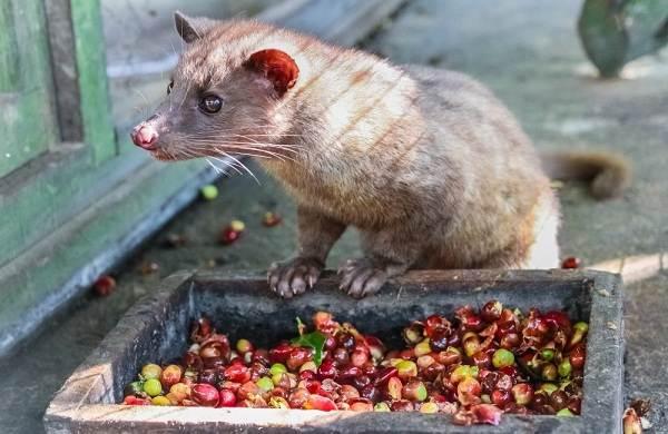 Мусанг-животное-его-особенности-виды-образ-жизни-и-среда-обитания-7