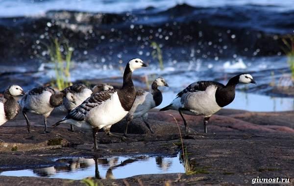 Белощекая-казарка-птица-Описание-особенности-образ-жизни-и-среда-обитания-2