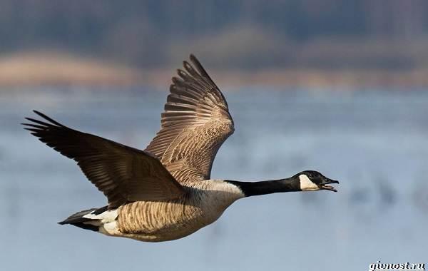 Белощекая-казарка-птица-Описание-особенности-образ-жизни-и-среда-обитания-5