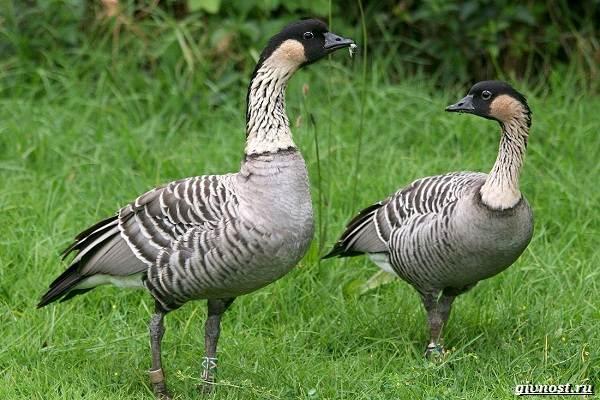 Белощекая-казарка-птица-Описание-особенности-образ-жизни-и-среда-обитания-6