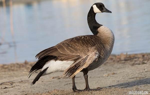 Белощекая-казарка-птица-Описание-особенности-образ-жизни-и-среда-обитания-7