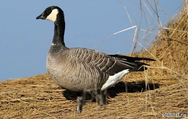 Белощекая-казарка-птица-Описание-особенности-образ-жизни-и-среда-обитания-9