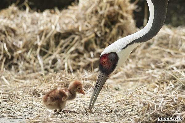 Даурский-журавль-его-особенности-образ-жизни-и-среда-обитания-5