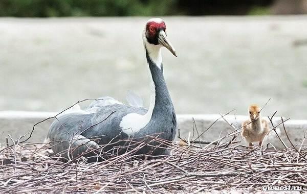 Даурский-журавль-его-особенности-образ-жизни-и-среда-обитания-7