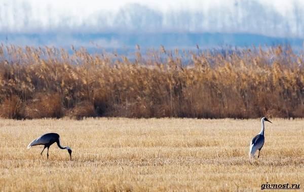 Даурский-журавль-его-особенности-образ-жизни-и-среда-обитания-8