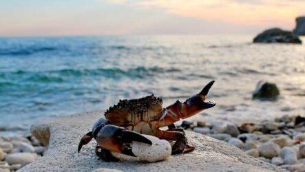Крабы Чёрного моря. Описания, названия и фото