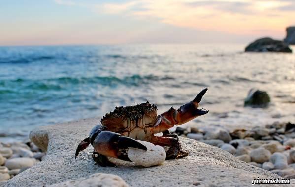 Крабы-Чёрного-моря-Описания-названия-и-фото-13