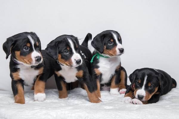 Собака-породы-аппенцеллер-Описание-особенности-уход-и-цена-11