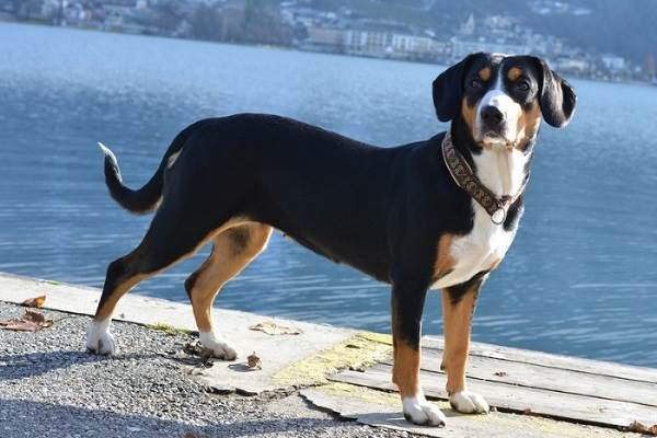 Собака-породы-аппенцеллер-Описание-особенности-уход-и-цена-14